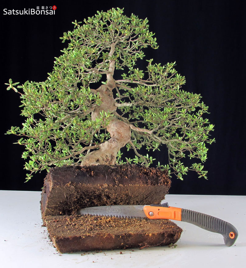 Tutorial satsukibonsai for Tipi di bonsai