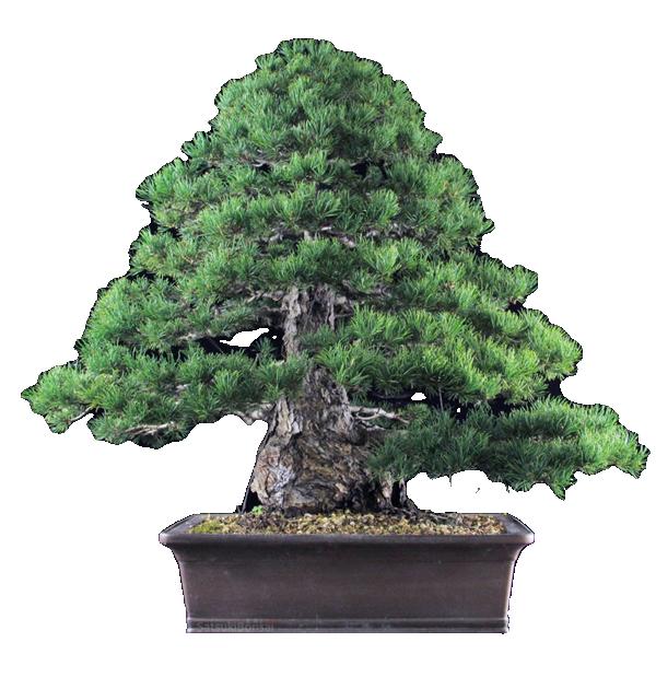 Home - Satsuki Bonsai - Shop bonsai e attrezzature per la manutenzione